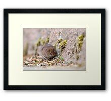 Water Vole Framed Print