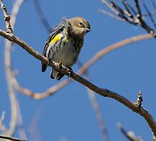 Yellow Rumped Warbler by Joe Jennelle