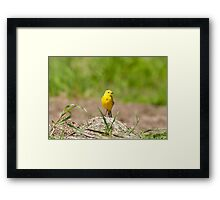 Yellow Wagtail, Somerset Framed Print