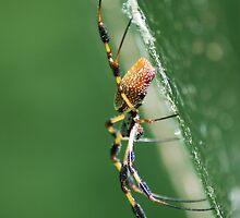 Spider on web by Leon Heyns