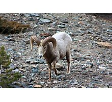 Rocky Mountain Sheep Photographic Print