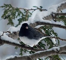 Junco by Diane Blastorah