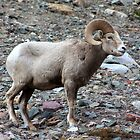 Rocky Mountain Sheep by Alyce Taylor