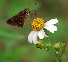 Brown butterfly on Spanish Needles by Ben Waggoner