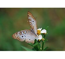 White butterfly on Spanish Needles 2 Photographic Print