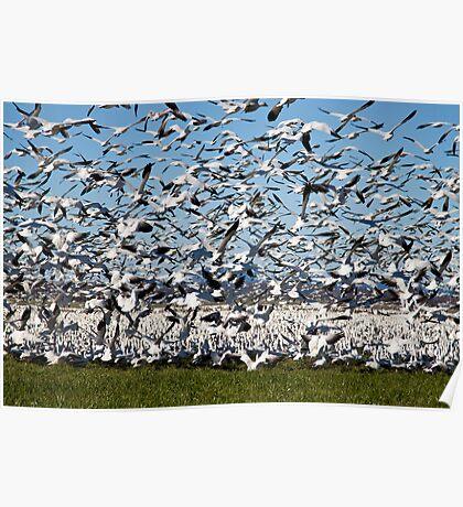 Snow Geese Take Flight Poster
