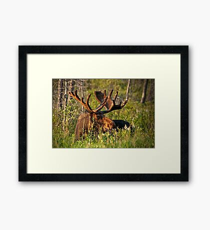 Moose In Meadow Framed Print