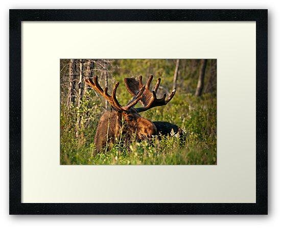 Moose In Meadow by Bill Maynard