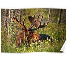 Moose In Meadow Poster