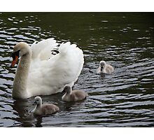 Cygnets with their mum Photographic Print