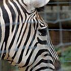 Zebra at the Zoo by Shayna Sharp
