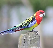 A Rookwood Rosella by Rookwood Studio ©