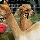 Alpacas on the Parliament Lawns by DEB CAMERON