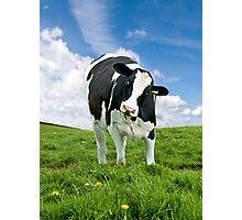 Cute Friesian Cow Photographic Print