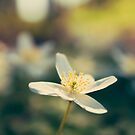 Wood Anemone by mariakallin