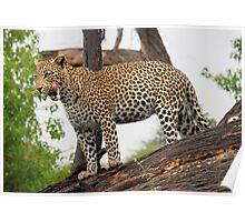 Fat cat - Okavango Delta Poster