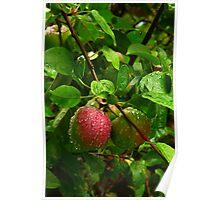 Wet Apples V on tree Poster