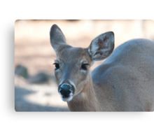 Beautiful Deer with Long Eyelashes Canvas Print