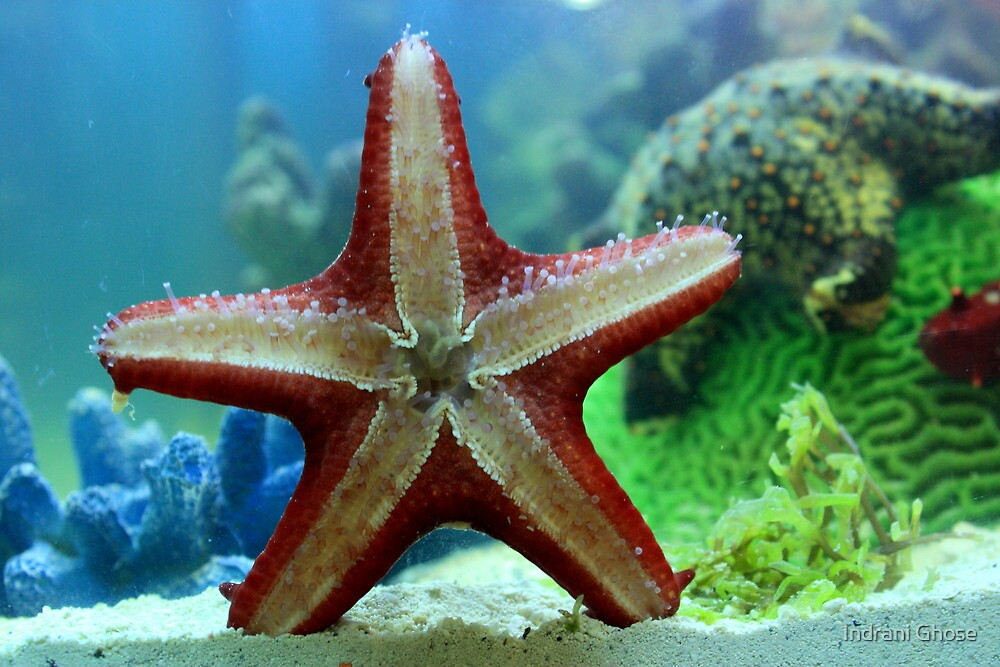 Starfish details by Indrani Ghose