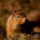 Red Squirrel by Ann Heffron