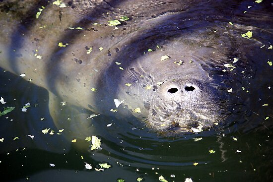 Manatee Feeding Time.  Lettuce Anyone? by AuntDot