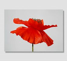 The Poppy by AnnDixon
