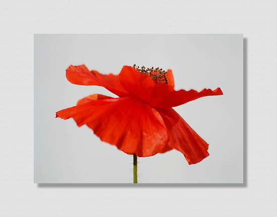 The Poppy by AnnDixon