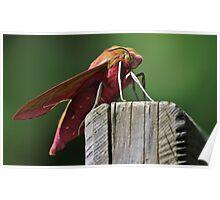 Beautiful Elephant Hawk Moth Poster
