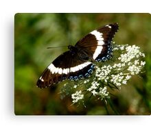 White Admiral on Queen Anne's Lace Canvas Print