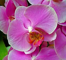 Purple Orchid. by Lee d'Entremont