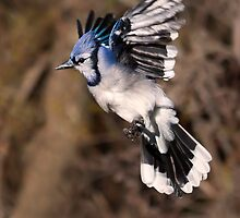 Blue Jay by Michaela Sagatova