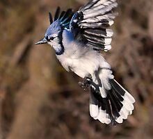 Blue Jay by PixlPixi