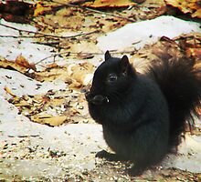 Black Squirrel by Marcia Rubin