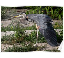 Great Blue Stretch / Great Blue Heron Poster