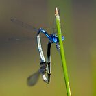 Damsel Flies Mating by TheOntology