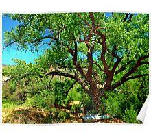 Cottonwood tree, Jemez Springs, New Mexico Poster