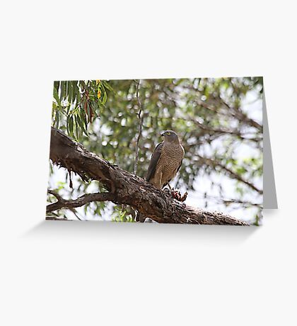Brown Goshawk with meal Greeting Card