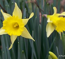 Sign Of Spring - Yellow Daffodils Along Roadside by Betty Northcutt