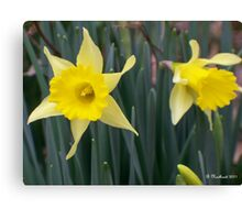 Sign Of Spring - Yellow Daffodils Along Roadside Canvas Print