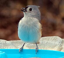 Titmouse by the Pool by BLemley