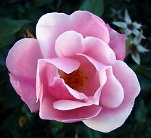 Pink Rose by BLemley