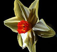 Daffodil head by Doug McRae
