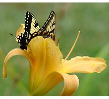Daylily and Butterfly Photographic Print