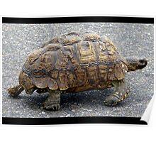 Tortoise strolling along Poster