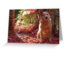 australian cattle dog - red heeler - autumn sunset Greeting Card