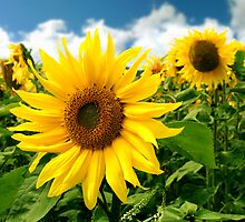 Sunflower - Summer is coming by Anthony Thomas