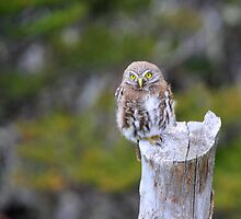 Young Austral Pygmy Owl by Laurel Talabere