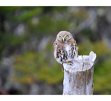 Young Austral Pygmy Owl Photographic Print