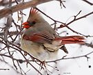 Cardinal Female by Dennis Cheeseman
