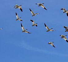 Snow Geese by Sharon Batdorf